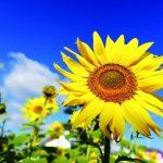 ひまわりの花の画像